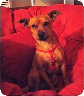 Dachshund/Chihuahua Mix Dog for adoption in Poway, California - SYDNEY