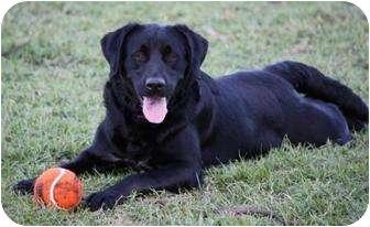 Labrador Retriever Mix Dog for adoption in Largo, Florida - Lady