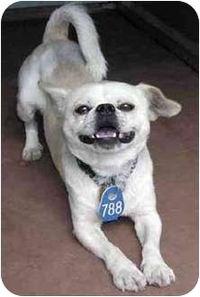 Pug/Pekingese Mix Dog for adoption in San Diego/North County, California - Gerpy