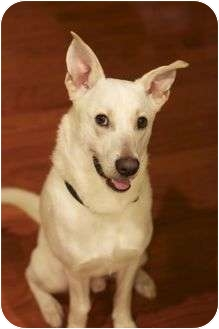 German Shepherd Dog Mix Dog for adoption in Spring Valley, New York - Alfie
