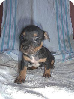 Miniature Pinscher/Rat Terrier Mix Puppy for adoption in Carrollton, Georgia - Jim