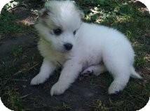 Keeshond/Husky Mix Puppy for adoption in Hainesville, Illinois - Noah