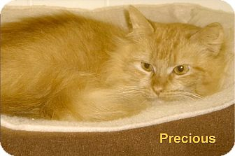 Domestic Longhair Cat for adoption in Medway, Massachusetts - Precious