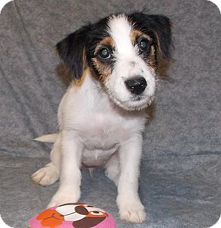 Jack Russell Terrier Puppy for adoption in Oswego, Illinois - Stinker