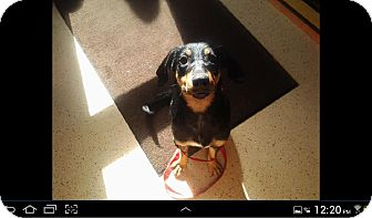 Doberman Pinscher/Black and Tan Coonhound Mix Puppy for adoption in Buffalo, New York - Heidi