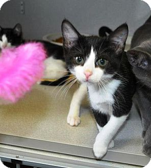Domestic Shorthair Kitten for adoption in Indianola, Iowa - N3  - Claire