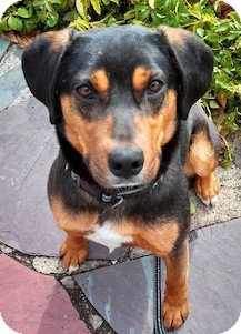 Shepherd (Unknown Type) Mix Dog for adoption in Loudonville, New York - Axel