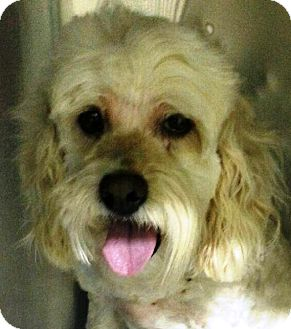 Wheaten Terrier Mix Dog for adoption in Oswego, Illinois - I'M ADOPTED Kirby