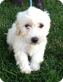 Maltese/Poodle (Miniature) Mix Puppy for adoption in Pasadena, California - HONEY