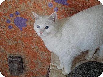 Domestic Shorthair Cat for adoption in Sherman Oaks, California - Iris