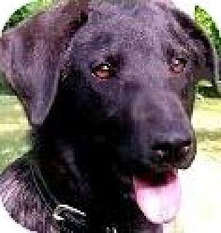 Labrador Retriever/Boxer Mix Dog for adoption in Wakefield, Rhode Island - KINDLE(LOVES CHILDREN!!!!
