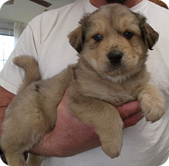 Australian Shepherd/Golden Retriever Mix Puppy for adoption in Corona, California - TIMMY