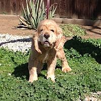 Adopt A Pet :: Vayle - Santa Barbara, CA