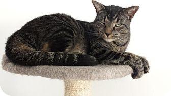 Domestic Shorthair Cat for adoption in Acushnet, Massachusetts - Fred
