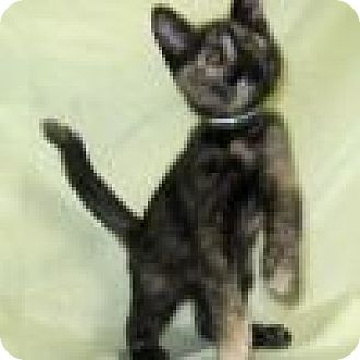 Domestic Shorthair Cat for adoption in Powell, Ohio - Princess