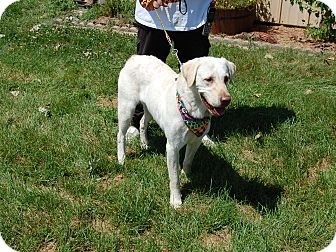 Labrador Retriever Mix Dog for adoption in North Judson, Indiana - Mack