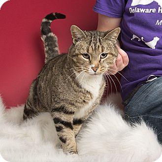 Domestic Shorthair Cat for adoption in Wilmington, Delaware - Brock
