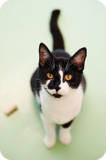 Domestic Shorthair Cat for adoption in Gadsden, Alabama - Roger