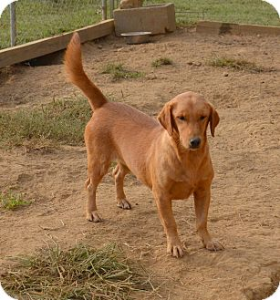 Basset Hound/Golden Retriever Mix Dog for adoption in Groton, Massachusetts - Sadie Rose