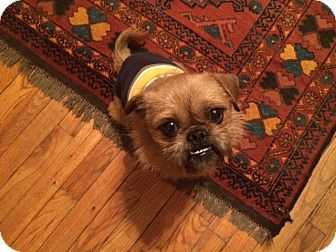 Brussels Griffon Mix Dog for adoption in Barrington, Illinois - Rocky