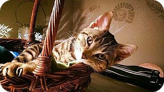 Domestic Shorthair Kitten for adoption in Tampa, Florida - Grace O'Malley