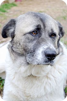 Akita Mix Dog for adoption in Marietta, Georgia - Maggie May