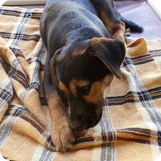 Shepherd (Unknown Type) Mix Puppy for adoption in Wilmington, Delaware - Pip