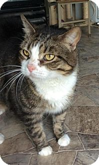 Domestic Shorthair Cat for adoption in Breinigsville, Pennsylvania - Cathy