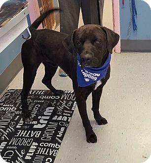 Labrador Retriever Mix Dog for adoption in Maryville, Illinois - Tyson