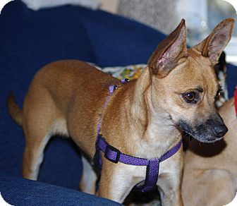 Chihuahua Mix Puppy for adoption in WESTMINSTER, Maryland - Gazelle