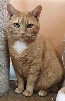 Domestic Shorthair Cat for adoption in St. Louis, Missouri - Autumn