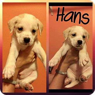 Golden Retriever Mix Puppy for adoption in Mesa, Arizona - Hans