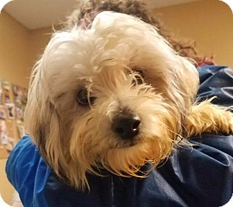 Maltese/Poodle (Standard) Mix Dog for adoption in Freeport, New York - Marie