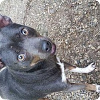 Adopt A Pet :: Bleu - Foristell, MO