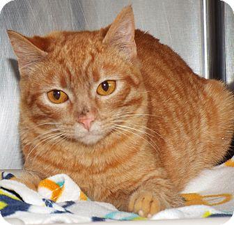 Domestic Shorthair Kitten for adoption in Grants Pass, Oregon - Sunny