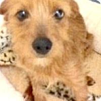 Adopt A Pet :: Scarlet-ADOPTION PENDING - Boulder, CO