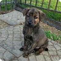 Adopt A Pet :: Ringo - New Oxford, PA