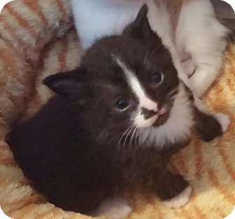 Domestic Shorthair Kitten for adoption in Southington, Connecticut - Alister and Abel