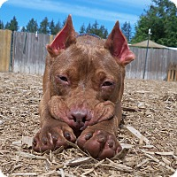 Adopt A Pet :: Moon Doggie - Issaquah, WA