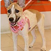 Adopt A Pet :: Filis - Taiwan Pup - Encino, CA