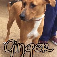 Adopt A Pet :: Ginger - Huntsville, TX