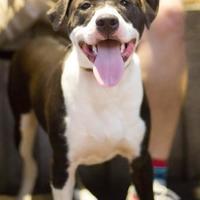 Adopt A Pet :: Sheldon - Burlington, NC