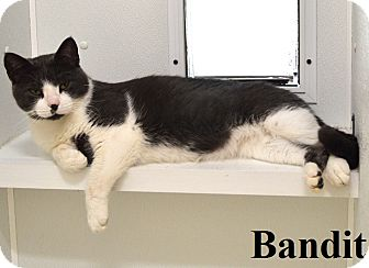 Domestic Shorthair Cat for adoption in Fryeburg, Maine - Bandit