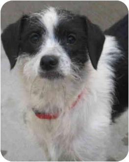 Jack Russell Terrier/Poodle (Miniature) Mix Dog for adoption in Chicago, Illinois - Runt(ADOPTED!)