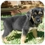 Photo 3 - German Shepherd Dog/Border Collie Mix Puppy for adoption in Dripping Springs, Texas - Ollie