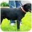 Photo 2 - Labrador Retriever/Boxer Mix Dog for adoption in Plainfield, Illinois - Leena