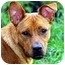 Photo 1 - Basenji/Shepherd (Unknown Type) Mix Dog for adoption in Nashville, Tennessee - Zoey