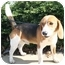 Photo 1 - Beagle Puppy for adoption in Waldorf, Maryland - Tater