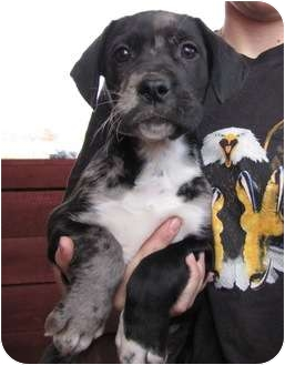 Great Dane Mix Puppy for adoption in Lawrenceburg, Tennessee - Amber