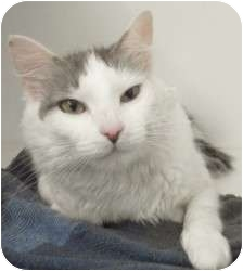 Turkish Van Cat for adoption in Atlanta, Georgia - Skittles